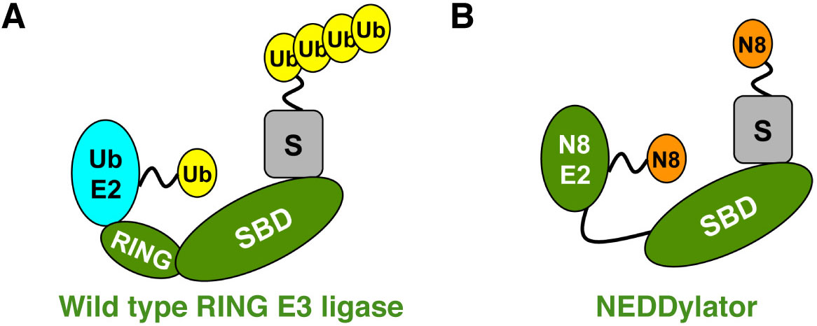 wild type RING E3 ligase with NEDDylator
