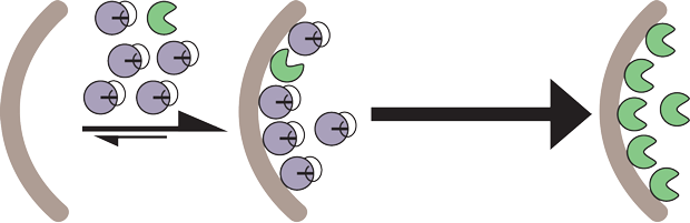 model of proscapase-3 activation