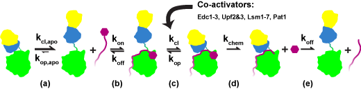 process of mRNA decapping by enzyme
