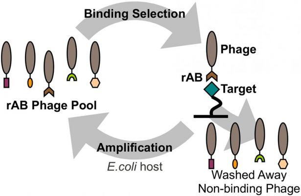 bacteriophage particles and recombinant Fab proteins