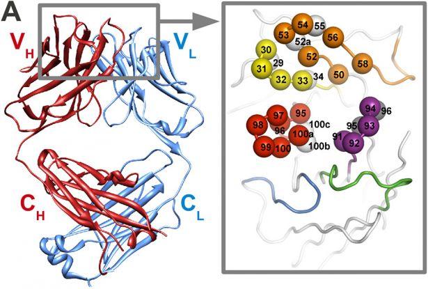 CDR loops, amino acid positions