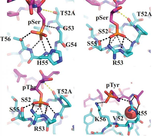 Structures of antibodies' phosphorylated-residue binding pockets