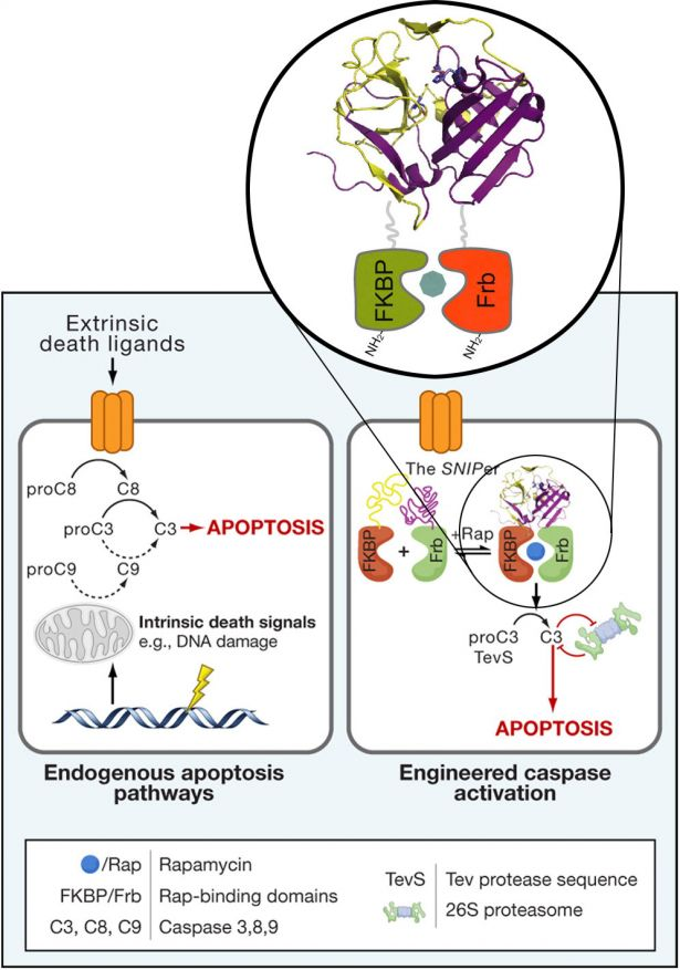 diagram showing endogenous apoptosis pathways and engineered caspase activation