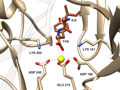 dipeptide epimerase closeup