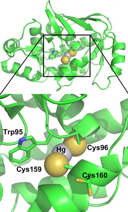 cysteinerich active site of organomercurial lyase binding mercury