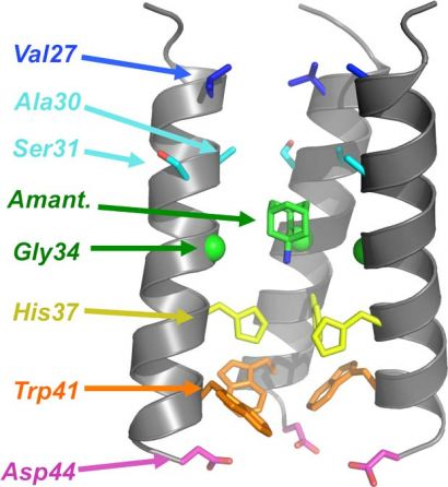 model of the transmembrane domain of influenza A M2 proton channel bound with the drug amantadine
